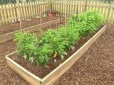 How to Grow Pepper Plants: Green, red or yellow, peppers make a wonderful addition to any backyard vegetable garden