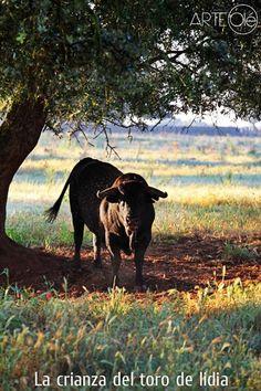 La crianza del toro de lidia. http://arteole.com/blog/la-crianza-del-toro-de-lidia/