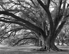 Josephine oak, Oak Alley Plantation   Had a lovely dream in which  I got married underneath one of these...