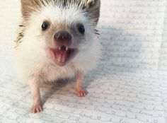 The 'Vampire' hedgehog named 'Huff' has won over the internet Check more at http://giveitlove.com/vampire-hedgehog-named-huff-won-internet/