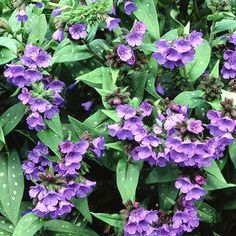 Provide high-humus soil that retains moisture. Although lungwort tolerates dry conditions, be alert for mildew. Perennial Part Sun / Shade Drought Tolerant Height - under 6 inches Shade Garden Plants, Green Plants, Shade Flowers, Classic Garden, Ground Cover Plants, Primroses, Shade Perennials, Tall Plants, Spring Blooms