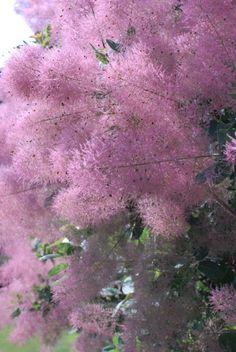 Another amazing image of the smoking hot garden pick of the week : Cotinus coggygria purpureus - Purple Smoke Bush - Images by Greg Bilowz