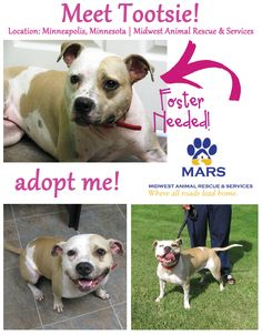 Tootsie-  Adoptable Dog of the Week - MN dog. Please re-pin to get this girl the exposure she needs! Tootsie has been in rescue for 3+ years!!!!