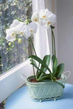 Indoor Vegetable Gardening Orchid in Windowsill - Figure out what could be hindering your orchids, how to encourage and help orchids to bloom, and how to help lifeless ones rebloom.