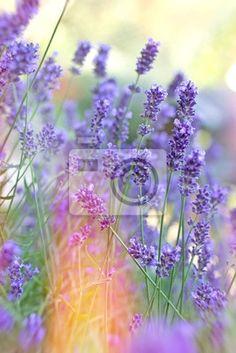 Fototapeta Piękny kwiat lawendy w moim ogrodzie
