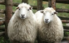Recent @Peta wool investigations are scary. Join me in taking the #wool free pledge