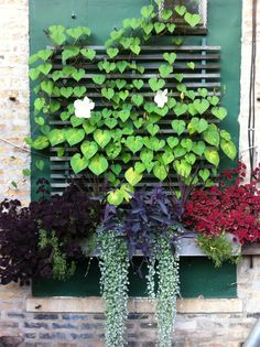 Full Sun planter box with Trailing Coleus, Dichondra 'Silver Falls', Purple Heart, Draceana and Moonflower Vine.