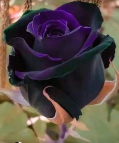 200 pcs Rare Holland Rainbow Rose Flower seeds Home Garden Rare Flower Seeds 24 color rainbow Rose Seeds 200 pcs Rare Holland Rainbow Rose Flower seeds Home Garden Rare Flower – Springsofeden Beautiful Rose Flowers, Black Flowers, Purple Roses, Amazing Flowers, Black Magic Roses, Unique Roses, Spring Flowers, Rare Roses, Rare Flowers