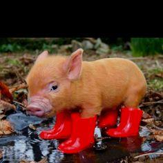 Teacup piggy