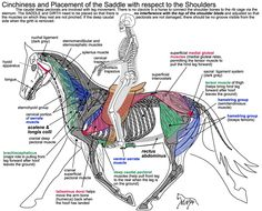 Cool diagram to see how placement of a saddle can affect a horse's shoulder movement.