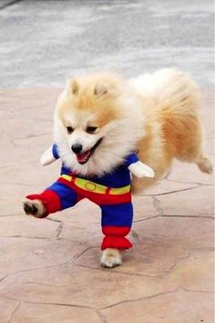IT'S SUPER PUP!don't know if i should laugh my head off or feel super sorry the the pup :) .don't think I could do this to my pup Baby Animals, Funny Animals, Cute Animals, Animals Amazing, Wild Animals, Pet Dogs, Dog Cat, Doggies, Baby Dogs