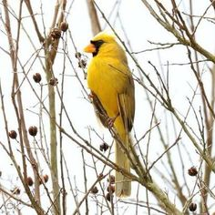 Image result for yellow cardinal in alabama