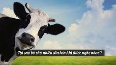 Tại sao bò cho nhiều sữa hơn khi được nghe nhạc ?