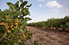 Pistachio Garden in Rafsanjan - Iran´s center of pistachio cultivation, Kerman Province.  Photo: Ali Majdfar