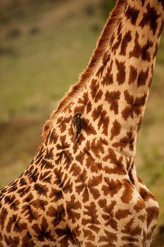 Safari Kenya Masai Mara Girafe | by pickledimages