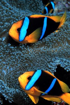 Amphiprion chrysopterus orangefin anemonefish is a marine fish belonging to the family Pomacentridae the clownfishes and damselfishes found in the Wester Animals Are Beautiful People, Beautiful Creatures, Colorful Fish, Tropical Fish, World Wild Life, Sea Fish, Fish Ocean, Underwater Sea, Fish Wallpaper