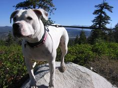 Snow - a great dane, german wirehaired pointer, german shepherd, bull terrier, boxer mix