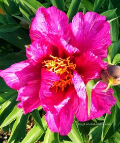Itoh peony 'Yankee Doodle Dandy' - This page explains what, and how wonderful, Itoh peonies are.