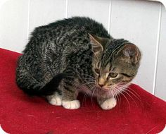 Germantown, MD - Bengal. Meet Priscilla a Kitten for Adoption.