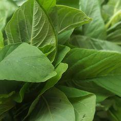 Dizem que tem mais ferro que os espinafres sendo certo que a gimboa é uma planta muito utilizada na culinária Angolana. É possível consumi-la no calulu de peixe ou de carne seca por exemplo.