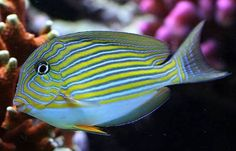 Clown Tang | Acanthurus lineatus Max Length: 13.5 inch Range: Indo - Pacific ...