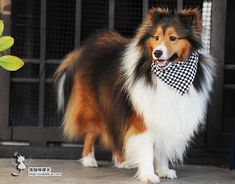 Handsome Sheltie Mini Collie, Collie Dog, I Love Dogs, Cute Dogs, Blue Merle Sheltie, Herding Dogs, Lap Dogs, Shetland Sheepdog, Dog Supplies