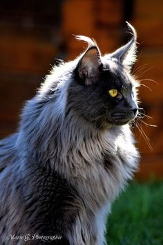 Fluffy mainecoon - Marko of Homega - @yummypets http://www.mainecoonguide.com/kittens/