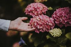 MOPHEAD HYDRANGEA CARE – PLANTING PRUNNING AND DEADHEADING