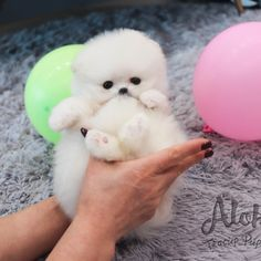 White Pomeranian Puppies, Teacup Puppies For Sale, Teacup Pomeranian, Cotton Candy, White Cotton, Tea Cups, Small Puppies For Sale, Cup Of Tea, Floss Sugar