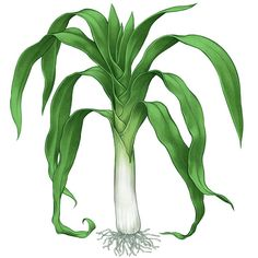 Try growing leeks in your organic garden. Learn how to plant, harvest and propogate the various types of leeks.data-pin-do=