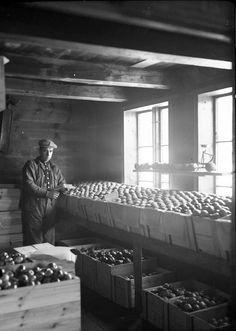 Apple harvest in Hardanger, Norway. Early 20th century. Photo Anders P. Wallevik