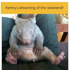 This picture of Kenny the wombat has sent the internet wild, accumulating over likes in 23 hours. There was some confusion over his anatomy Cute Wombat, Baby Wombat, Wombat Pictures, Animal Pictures, Cute Funny Animals, Cute Baby Animals, Unique Animals, Wild Animals, What Is A Wombat