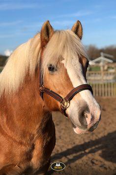 Onlangs won Mandy tijdens de adventsactie op @chanels_ponywereld het MHS halster Luxury. Na ontvangst kregen wij deze mooie foto toegestuurd. Mandy is onwijs blij met het halster en haar haflinger zo te zien ook 🤩 Wat staat dit halster toch prachtig! Vind je niet? 😍 Wil jij dit halster ook? Je shopt hem in de MHS Ruitersport webshop. Horse Supplies, All About Horses, Pony, Animals, Pony Horse, Animales, Animaux, Ponies, Animal