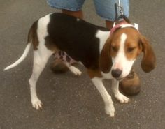 Treeing Walker F spayed named Lucky Lady in Amherst, VA @ Humane Society of Amherst County Adoption Center Call Mike Eames @ (434)845-3612