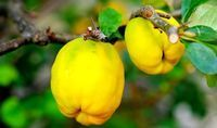 Growing Quince Trees, Health Benefits and Best Quince Recipes