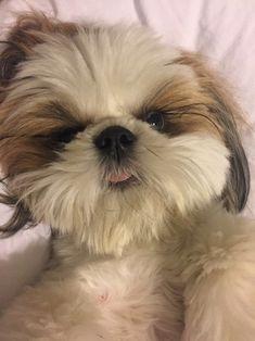 (Shih-Tzu named Baxter) : aww Shitzu Puppies, Cute Puppies, Dogs And Puppies, Doggies, Perro Shih Tzu, Shih Tzu Puppy, Shih Tzus, Cute Dogs Breeds, Dog Breeds