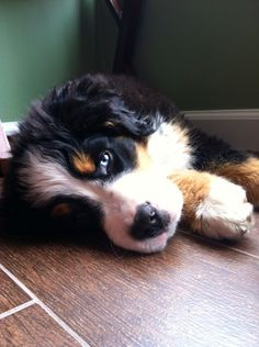 Bernese mountain dog puppy two different colored eyes! One blue eye one brown eye! Love my baby!