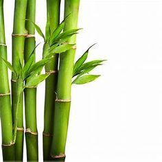 bambou - Résultats Saferbrowser Yahoo France de la recherche d'images