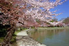 100th anniversary of the gift of Cherry Trees from the Japanese to the United States (planted in Washington DC) This photo is by Randall Wingett
