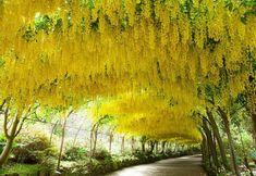 1,95 €  Graines de Cytise (Laburnum anagyroides) bel arbre, très florifère et robuste 5 graines par sachet. Arbre très florifère rustique et robuste, fleurs sous forme de grandes grappes de couleur jaunes vif, d'une taille de 10 à 25 cm. Feuilles caduque trifoliées et légèrement velue de couleur vert glauque. L'arbre est utilisée en groupe ou isolé, souvent dans les parcs et