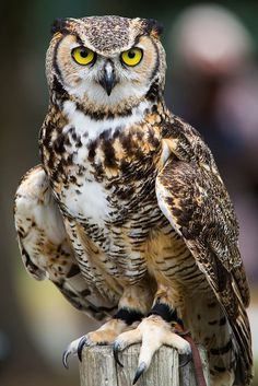 "cloudyowl: "" Great Horned Owl by Jason.Low """