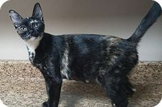 Pictures of ALICIA a Domestic Shorthair for adoption in Dallas, TX who needs a…