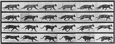 Album sur la décomposition du mouvement:chat . Eadward Muybridge.