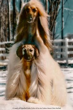 best images, photos and pictures ideas about afghan hound dog - oldest dog breeds Big Dogs, I Love Dogs, Puppy Love, Cute Dogs, Hound Puppies, Hound Dog, Dogs And Puppies, Doggies, Beautiful Dogs
