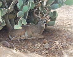 George Lockwood's Daily Painting - Phantom of the Foothills, Coues Deer