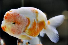 Ranchu (Goldfish)