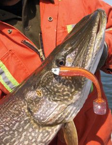 North Dakotan Johnnie Candle, a regular on the Professional Walleye Trail, shamelessly mooches new Pike Fishing Tips, Fishing Rigs, Drop Shot Rig, Soft Bait, Lewis And Clark, Carp, Pisces, Fishing Tackle, Lewis N Clark