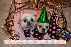 """Happy New Year!"", Nauti and Loki, French Bulldog Puppies, graduates from the FBRN 'Rescue and Relocation Program'."
