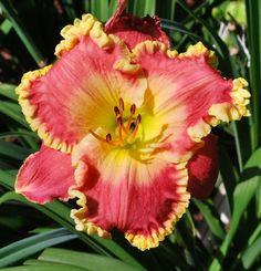 Melissa Begnaud X Randy Stephens. http://allthingsplants.com/thread/view/36383/June-2015-Seedling-Blooms/?offset=220