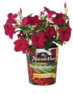 Most cold tolerant series of #mandevilla on the market today.  Three popular colors with many more to come in the near future.